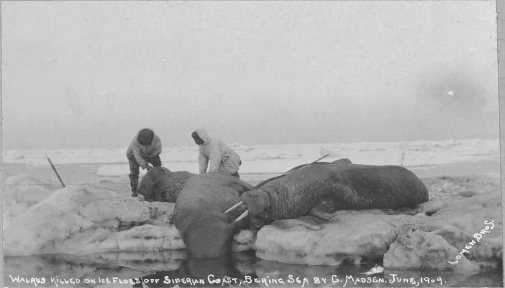 Охота на моржей